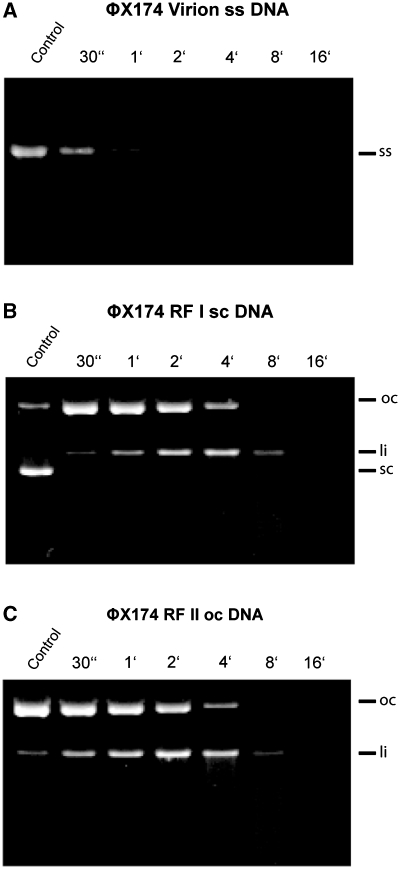 Substrate preference of wild-type EndA: Nucleolytic activity of wild-type EndA was tested on ( A ) <t>ΦX174</t> <t>DNA</t> (single-stranded, circular), ( B ) RF I DNA (double-stranded, circular) and ( C ) RF II DNA (double-stranded, nicked). Wild-type EndA shows no substrate preference (ss—single stranded, sc—super coiled, oc—open circle, li—linear).