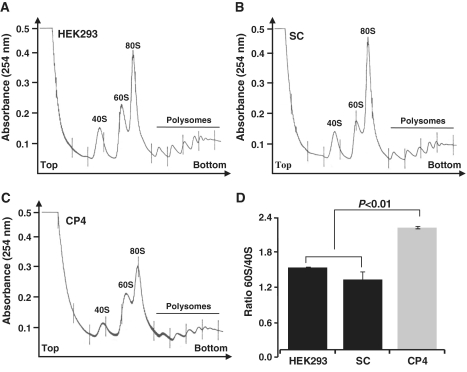Analysis of polysomes by sucrose density gradient fractionation. ( A ) Polysome profile of HEK293 cells. ( B ) Polysome profile of control cells expressing the scrambled shRNA. ( C ) Polysome profiles of clone CP4 transfected with shRNA targeting the NIP7 mRNA. ( D ) Quantitation of the 60S/40S subunit ratio of HEK293 cells, control scrambled shRNA cells (SC) and of CP4 cells in the polysome profiles shown in A, B and C, respectively. CP4 cells contain a significant lower amount of 40S ribosomal subunits. P -value was obtained by using a one-sided Student's t -test ( P