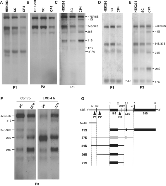 Northern blot analysis of pre-rRNAs detected by using probes complementary to the 5′-ETS and ITS1. ( A ) Northern blot using probe P1 complementary to the 5′-ETS upstream site A0. ( B ) Northern blot using probe P2 complementary to the 5′-ETS downstream site A0. ( C ) Northern blot using probe P3 complementary to ITS1 upstream site 2c. ( D ) and ( E ) Northern blots using probes P1 and P3 of longer electrophoresis runs. ( F ) Northern blot of cells treated with leptomycin B using probe P3 complementary to ITS1 upstream site 2c. ( G ) Structure of the 47S pre-rRNA and pre-rRNA intermediates that are most affected in NIP7-depleted cells. The positions of the probes P1, P2 and P3 used in the northern blots shown in A–D are indicated. HEK293, parental cells; SC, cells transfected with the scrambled shRNA; CP4, cells transfected with shRNA against the NIP7 mRNA.
