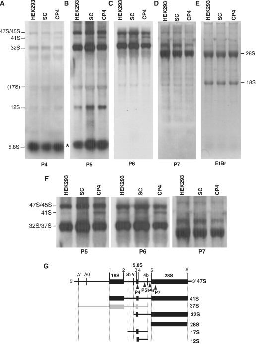 Northern blot analysis of pre-rRNAs detected by using probes complementary to the 5.8S rRNA, ITS2 and the 28S rRNA. ( A ) Northern blot using probe P4 complementary to the 5.8S rRNA. ( B ) Northern blot using probe P5 complementary to ITS2 upstream site 4b. ( C ) Northern blot using probe P6 complementary to ITS2 downstream site 4b. ( D ) Northern blot using probe P7 complementary to the 28S rRNA. ( E ) Ethidium bromide staining of an RNA gel showing the amounts of RNA loaded in each lane. ( F ) Enlarged figures showing the gel region of the high molecular weight pre-rRNAs detected with probes P5, P6 and P7. HEK293, parental cells; SC, cells transfected with the scrambled shRNA; CP4, cells transfected with shRNA against the NIP7 mRNA. ( G ) Structure of the 47S pre-rRNA. The positions of the probes P4, P5, P6 and P7 used in the northern blots shown in A-D are indicated. Asterisk indicates an unidentified band.