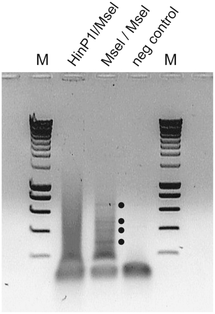 Enhanced amplification of viral fragments using one restriction enzyme in VIDISCA. Visualization of VIDISCA fragments digested with HinP1-I+MseI or MseI alone. VIDISCA fragments are visualized on a 1% agarose gel, which were generated after a single first round PCR of 40 cycles. The dots indicate viral fragments which were only visible with MseI digestion.