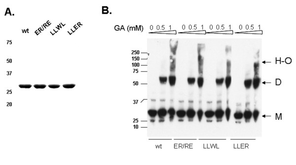 Oligomerization state of BCCL2 variants in mammalian cells . A . Lysates from 293 T cells expressing the wild-type (wt) and mutant BCCL2 proteins with V5 epitope tags were analyzed by 12% SDS-PAGE and Western blotted with an HRP-conjugated anti-V5 antibody. B . Lysates from 293 T cells expressing the wild-type (wt) and mutant BCCL2 proteins were treated with the indicated concentrations of glutaraldehyde and then boiled in Laemmli buffer and analyzed by SDS-PAGE and Western blotting, as described above. The positions of the molecular-weight markers in kD are shown. The arrows indicate the positions of monomers (M), dimers (D) and higher-order oligomers (H-O).