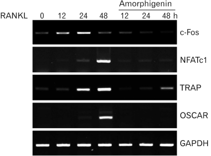 Amorphigenin suppresses RANKL-induced gene expression. BMMs were pretreated with or without amorphigenin and then stimulated with RANKL (100 ng/ml) for the indicated times. Total RNA was isolated from the treated cells. The mRNA expression of c-fos, NFATc1, TRAP, OSCAR, and GAPDH was analyzed by RT-PCR.