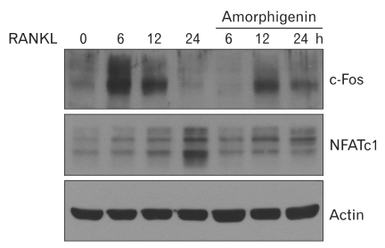 Amorphigenin inhibits RANKL-mediated c-Fos and NFATc1 expression. BMMs were pretreated with or without amorphigenin and stimulated with RANKL (100 ng/ml) for the indicated times. The cells were lysed in lysis buffer. c-Fos, NFATc1, or actin proteins were detected by Western blotting with an anti-c-fos, and anti-NFATc1, or anti-actin-antibody, respectively.