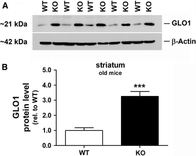 Elevation of GLO1 protein levels in striatum of alpha-synuclein-deficient mice. a Immunoblot analysis revealed b significant elevated GLO1 protein levels (3.26 ± 0.32-fold; n = 5/genotype, p = 0.0003) in the striatum of KO mice at old age (19 months) in comparison with corresponding WT controls. Protein expression levels of beta-actin were used for normalization of GLO1 protein levels and to confirm equal protein loading. Data are presented as mean ± SD and significant differences were highlighted with asterisks (*** p