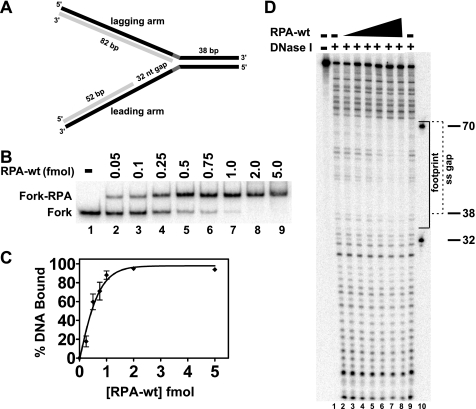 """RPA-wt binding to a replication fork substrate containing a single-stranded gap on the leading arm. A , the model replication fork substrate generated by two-step annealing of leadP122, lagP122, leadD52, and lagD82 oligonucleotides as indicated that contains a 32-nt single-stranded gap on the leading arm is shown, with parental and daughter strands depicted in  black  and  light gray , respectively (for construction details and oligo sequences, see """"Experimental Procedures"""" and  supplemental Table 1 , respectively). The parental-daughter arms were completely homologous except for a 5-nt non-complementary region ( dark gray ) at the fork junction to prevent spontaneous branch migration. The relevant lengths of the duplex and single-stranded regions are indicated.  B , RPA-wt (0–5.0 fmol) was incubated with the fork substrate (1 fmol) for 10 min at 25 °C, and binding of RPA to the substrate was analyzed by EMSA as described under """"Experimental Procedures."""" The positions of the RPA-fork complexes and the fork substrate are indicated at the  left. C , graphic representation of RPA binding to the fork substrate, derived from experiments performed as in  B , calculated as the percentage of Fork-RPA complex compared with the total DNA for each reaction is shown. Data points are the mean of three independent experiments, except for values at 0.5 and 1 fmol of RPA-wt (four independent experiments).  D , shown is RPA-wt (0.1–5 fmol) binding to the fork substrate (5 fmol) analyzed by DNase I footprinting as described under """"Experimental Procedures."""" The sizes of the markers ( lane 10 ) and the boundaries of the leading arm gap ( dashed bracket ) and of the area of protection by RPA-wt ( solid bracket ) are denoted at the  right ."""