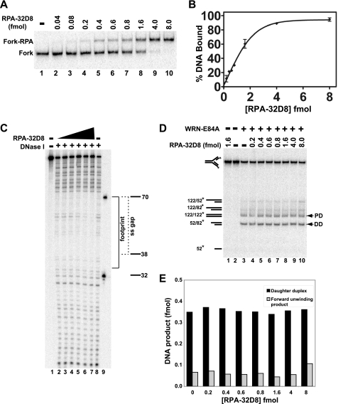 """Effect of phosphomimetic RPA-32D8 on WRN-E84A-mediated fork regression. A , RPA-32D8 (0.04–8.0 fmol) was incubated with the fork substrate (1 fmol) for 10 min at 25 °C, and DNA binding of RPA-32D8 was analyzed by EMSA as described. The positions of the RPA-32D8-fork complexes and the fork substrate are indicated at the  left. B , for experiments as presented in  A , the amount of fork substrate bound was determined by comparing the amount of bound DNA to the total DNA for each reaction and plotted  versus  RPA-32D8 concentration. Each data point is the average of two independent experiments.  C , binding of RPA-32D8 (1.0–32 fmol) to the fork substrate (5 fmol) is analyzed by DNase I footprinting as described under """"Experimental Procedures."""" Position of the markers, the boundary of the leading arm gap ( dashed bracket ), and the area of protection by RPA-32D8 ( solid bracket ) is denoted on the  right. D , in fork regression assays, shown is the fork substrate (1 fmol) with or without RPA-32D8 (0.2–8.0 fmol) for 5 min at 4 °C followed by the addition of WRN-E84A (3.5 fmol), except where indicated, and further incubation at 37 °C for 15 min. The position of individual DNA species is noted on the  left  and for parental ( PD ) and daughter duplexes ( DD ) by  arrowheads  also on the  right. E , for WRN-mediated fork regression reactions as depicted in  D , amounts of daughter duplexes and products of forward unwinding were quantitated as described, and the data are plotted as a  bar graph  showing the amounts of these products with respect to RPA-32D8 concentration."""