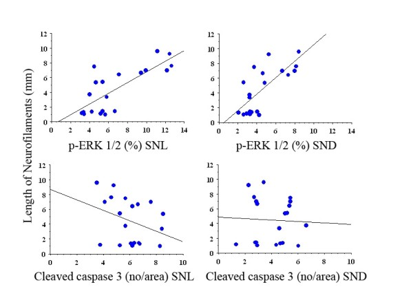 Graphs of regression analyses between length of neurofilaments (mm, dependent) and p-ERK 1/2 and cleaved caspase 3 (independent) at site of lesion and in distal nerve segment . For p-values and r 2 see Results.