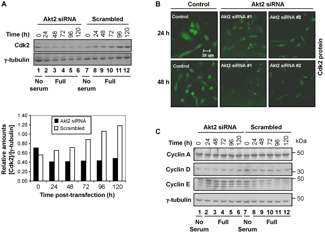 """Cdk2 and cyclin D were downregulated in cells transfected with Akt2-siRNA. ( A ) The relative level of Cdk2 was measured in a time course manner (0–120 h post-transfection) after cells were transfected with Akt2 siRNA (set #2). (Lower panel) The relative intensity of bands shown in the upper panel was normalized with the loading control and presented in a graph format. """"No serum"""" denotes Opti-MEM transfection medium described in Materials and Methods . """"Full"""" denotes culture medium containing 10% FBS (i.e., complete medium). ( B ) Analysis of Cdk2 by immunostaining in cells transfected with Akt2 siRNA (either oligo #1 or #2). The sampling times were 24 and 48 h post-transfection. Images shown are representative of three independent trials for each timepoint and each siRNA, respectively. ( C ) Akt2 ablation resulted in the downregulation of cyclin D, but not cyclin A and E. Western blot analysis of cyclin A, D and E of the cells transfected with Akt2 siRNA or scrambled siRNA was carried out at 0–120 h post-transfection. Note that the 0 h timepoint is incubated for 24 h in serum-free medium for both Akt2-siRNA and scrambled-siRNA treated cells. Data shown is representative of three independent experiments."""