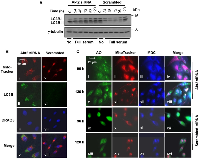 """Akt2 ablation induced autophagy of mitochondria. ( A ) Akt2 ablation with siRNA resulted in an increase of LC3B-II. Western blotting was carried out with anti-LC3B antibody that recognizes both LC3B-I and LC3B-II. Cell extracts from Akt2-ablated or control cells (scrambled) were prepared at the timepoints indicated. """"No"""" denotes no serum in the medium (i.e., Opti-MEM). Note the increased LC3B-II levels in the Akt2-ablated cells compared to the scrambled controls. ( B ) Immunofluorescent staining of LC3B was carried out at 96 h post-transfection. Red, green, and blue are MitoTracker (mitochondrial detection), LC3B (detection of LC3B, which is associated with autophagosomes), and DRAQ5 (nucleus detection), respectively. Akt2 siRNA and """"Scrambled"""" denote MDA-MB231 cells transfected with Akt2 siRNA or scrambled siRNA, respectively. ( C ) Cells on a glass coverslip were transfected with Akt2 siRNA or scrambled siRNA, followed by triple-staining, first with MitoTracker Red, followed by acridine orange (AO) and monodansylcadaverine (MDC). Sampling timepoints after transfection are indicated left to panel."""