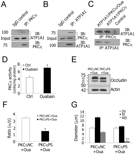 Decreased Na + /K + -ATPase activity increases TJ permeability via PKCη phosphorylated occludin. A and B , Co-immunoprecipitation using isolated stria vascularis capillary lysates shows that PKCη is in a complex with ATP1A1. Goat IgG served as a negative control. C , Protein-protein interaction analysis with purified ATP1A1 (250 ng) and PKCη (250 ng). Ouabain (10 µM) was added where indicated. Control lanes consisted of either anti-ATP1A1 antibody and purified PKCη or anti-PKCη antibody and purified ATP1A1. D , Ouabain inhibition of Na + /K + -ATPase activity causes increased PKCη activity in isolated stria vascularis capillaries (*P = 0.013