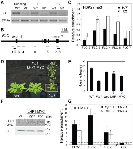 H3K27me3 and LHP1 distribution on FLC. (A) Expression at various developmental stages in wild-type and lif2 plants. Semi-quantitative RT-PCR were performed on seven-day-old in vitro seedlings, rosette leaves after bolting (RL), floral buds just after bolting (FB1) and floral buds after the production of 10 siliques (FB2). The EF-1α gene expression was used as a control. (B) Schematic representation of the FLC locus and the 8 amplified regions used in chromatin immunoprecipitation (ChIP) assays. (C) ChIP analysis to determine the relative level of H3K27me3 at the indicated FLC regions in wild-type and lif2 seedlings. Immunoprecipitated DNA was analyzed by real-time qPCR, and enrichment was calculated as percentage of INPUT. All ChIP experiments were normalized for histone H3 occupancy and normed by using ChIP results on an AGAMOUS control region. Data in the graphs are the average of at least two qPCR assays from three independent ChIP experiments; the bars represent standard error. (D–F) Complementation of the lhp1 mutant by the expression of the genomic LHP1:MYC-tagged construct. (D) Plant phenotypes, (E) total number of rosette leaves, and (F) protein levels. (G) ChIP assays to determine the relative level of LHP1 binding at the indicated FLC regions in wild-type and lif2 backgrounds expressing the LHP1:MYC-tagged construct. A CONSTANS (CO) region was used as a negative control [23] . Immunoprecipitated DNA was analyzed by real-time qPCR, and enrichment was calculated as percentage of INPUT and normalized relative to a Col-0 control, represented as a dashed line. Data in the graphs are the average of at least two qPCR assays from three independent ChIP experiments; the bars represent standard error.