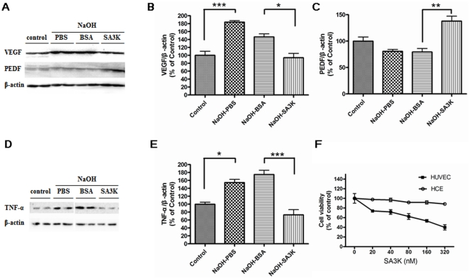 Down-regulation of anti-angiogenic and anti-inflammatory factors by SERPINA3K. ( A ) Western blotting results of VEGF and PEDF on day 8 after alkali burn. Individual lanes from left to right, 1 2: control group, without alkali burn; 3 4: alkali burn with PBS treatment; 5 6: alkali burn with BSA treatment; 7–8: alkali burn with SERPINA3K (SA3K) treatment (20 µg/eye/day). ( B ) The statistic analysis of Western blotting results of VEGF between the groups on day 8 (Data are presented as Mean±SEM, n = 3 in each group). The level of VEGF was significantly reduced in the SERPINA3K-treated group, compared to the BSA-treated group. ( C ) The statistic analysis of Western blotting results of PEDF between the groups (data are presented as Mean±SEM, n = 3 in each group) on day 8. The level of PEDF was significantly up-regulated in the SERPINA3K-treated group, compared to the BSA-treated group. ( D ) The Western blotting results of TNF-α on day 8 after alkali burn. The order of individual lanes was as same as ( A ). ( E ) The statistic analysis of Western blotting results of TNF-α between the groups on day 8 (data are presented as Mean±SEM, n = 3 in each group). The level of TNF-α was significantly reduced in the SERPINA3K-treated group, compared to the BSA-treated group. ( F ) The effects of SERPINA3K on the cell viability of HCE cells and HUVEC by the MTT assay (data are presented as Mean±SEM, n = 5 in each group). It showed the inhibitory effect of SERPINA3K on the cell viability of HUVEC, but not HCE cells at the concentrations given. (* p