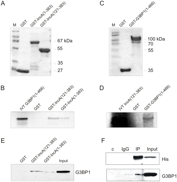 Full-length IncA of Cp. psittaci and G3BP1 proteins interact in vitro and in vivo . (A) Purified GST, GST-IncA (aa 1-338) and GST-IncA (aa 121-383) or (C) GST and GST-G3BP1 (aa1-466) stained with Coomassie. (B) Results of GST pull-down experiments performed with IncA full-length and truncation clone fused to GST and [ 35 S]-methionine-labeled full-length G3BP1 or (E) with Hep-2 cell lysate instead of labeled G3BP1. (D) Results of GST pull-down experiment performed with full-length G3BP1 fused to GST and [ 35 S]-methionine-labeled IncA (aa 121-383). GST served as control. IVT: 10 µl of the in vitro translation product. Input: 25% (75 µg protein) of Hep-2 cell lysate used for the interaction assay. (F) Whole cell lysate of HEK293 cells transfected with a His-tagged codon-adapted IncA mammalian expression construct was subjected to co-immunoprecipitation experiments using anti-His antibody. Co-immunoprecipitated endogenous G3BP1 was detected with a mouse anti-G3BP1 monoclonal antibody. Controls were beads alone (c) or pre-immune serum (lgG). Input: 10% (100 µg) of the protein used for immunoprecipitation.