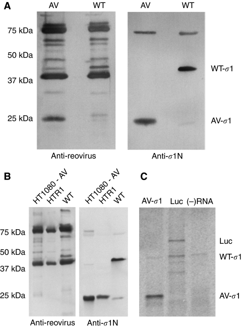 AV reovirus possesses a truncated σ 1 protein. ( A ) WT and AV reovirus were purified from L929 murine fibroblasts and examined for the presence of σ 1. Through immunoblotting, membranes were probed with reovirus antiserum (left panel) and polyclonal reovirus σ 1 N-terminus antiserum (right panel). The N-terminal antibody was raised against σ 1 amino acids 1–158 ( Duncan and Lee, 1994 ). ( B ) Attenuated reovirus was collected from infected HT1080 and PI HTR1 supernatants by high-speed ultracentrifugation and examined by immunoblotting using reovirus antiserum (left panel) and polyclonal σ 1 N-terminus antiserum (right panel). Purified WT reovirus was used as a point of reference. ( C ) In vitro transcription of the AV reovirus S1 gene by T7 polymerase produced a σ 1 RNA transcript that was in vitro translated using a rabbit reticulocyte system. Translation of a luciferase transcript and a minus RNA reaction were used as positive and negative controls, respectively. The samples were analysed by 12% SDS–PAGE and subsequent autoradiography.