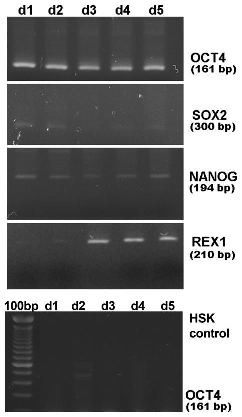 Transient expression of OCT4 induces endogenous expression of OCT4 target genes in human skin keratinocytes. Shown in top four gels are RT-PCR gels for expression of OCT4 and the endogenous OCT4 target genes, SOX2, NANOG, and REX-1, from 1 through 5 days after transient transfection with pcDNA3-OCT4. Bottom gel demonstrates that untransfected HSKs do not express OCT4 RNA. 100bp = 100 base pair ladder.