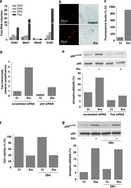 p65 phosphorylation is induced by a p53-dependent death receptors expression. ( a ) Death receptor expression was measured in all cell lines by qPCR upon 8 h etoposide treatment (20 μ M). The plot represents the relative quantification compared to control non-treated cells. ( b ) Fas receptor immunocytochemistry on D283-MED cells treated with 20 μ M etoposide for 8 h. ( c ) Quantification by flow cytometry of Fas expression to the plasma membrane in D283-MED cells upon 8 h of etoposide treatment (20 μ M). ( d ) D283-MED cells were transfected with 100 nM of siRNA directed against p53 or control-scrambled siRNA. After 48 h transfection, cells were treated with etoposide (20 μ M, 8 h). Fas mRNA expression was assessed by qPCR. Results are expressed as fold levels induction compared with the control unstimulated cells transfected with scrambled siRNA. Knockdown of p53 was controlled by qPCR (not shown) and western blot ( Figure 3c ). ( e ) D283-MED cells were transfected with 100 nM siRNA directed against Fas or control-scrambled siRNA. After 48 h transfection, cells were treated with 20 μ M etoposide for 6 h and phospho-p65 levels were measured by western blot. The plot represents the quantification of the blot shown. ( f ) D283-MED cells were treated with 20 μ M etoposide in the presence or absence of the Fas antagonist ZB4 antibody (5 μ g/ml) for 8 h. Cell viability was measured by MTS assay and expressed as % of control untreated cells. ( g ) D283-MED cells were treated for 6 h with etoposide (20 μ M) in the presence or absence of the Fas antagonist ZB4 antibody. Phospho-Ser536-p65 levels were evaluated by western blot. The bands were quantified and the phospho-p65/p65 ratio was plotted for the different treatment conditions
