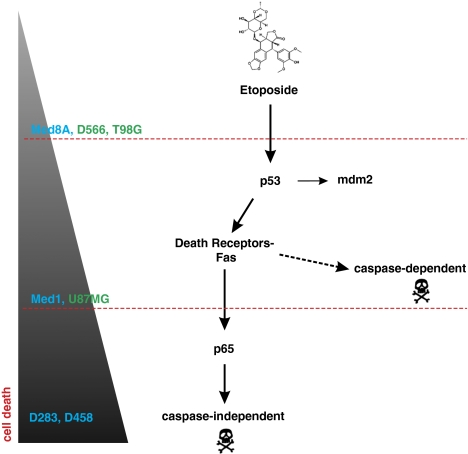 Molecular mechanisms of etoposide-induced cell death in brain tumours. The schematic diagram represents a model of intracellular mechanism induced by etoposide in both GM and MB cells. Depending on the genetic background, cells display different sensitivity to etoposide. Through its genotoxic function, etoposide induces p53 activation. p53 activates the transcription of various genes involved in regulation of cell cycle arrest and cell death as Fas receptor and mdm2. Fas receptor expression at the plasma membrane is able to activate p65 in a FasL-independent manner as well as a caspase-dependent apoptotic cell death. p65 enhances apoptotic death by inducing a caspase-independent cell death. Cells displaying this fully efficient crosstalk are very sensitive to etoposide-induced cell death (D283-MED, D458-MED). Conversely, cells impaired in p53 activation are strongly resistant to cell death (MEB-Med8A, D566-MG, T98G). Interestingly, Cells displaying p53 activity but an impaired p65 activation show intermediate resistance (MHH-Med1, U87MG). MB cell lines are in blue and GM cell lines in green. The grey-to-black gradient illustrates the sensitivity to etoposide-induced cell death. The dotted red lines represent the nods in transduction pathways that are blocked in indicated cell lines
