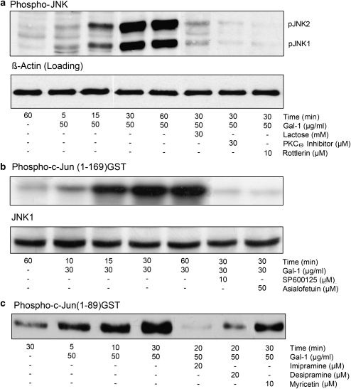 Galectin-1 (Gal-1)-induced phosphorylation of c-Jun N-terminal kinase 1 (JNK1) and JNK2 ( a ) and JNK activation with c-Jun(1-169)-GST ( b ), and c-Jun(1-89)-GST ( c ) as kinase substrates. Jurkat E6.1 cells (2 × 10 6 per ml RPMI 1640 medium) were incubated with protein kinase C-θ (PKCθ) inhibitor and PKCδ inhibitor rottlerin for 1 h, with the sphingomyelinase inhibitors desipramine and imipramine for 2 h, as well as with the ATP-competitive inhibitor for JNK SP600125 and for mitogen-activated protein kinase kinase 4 (MKK4) myricetin for 30 min as indicated. Control cells were incubated in medium alone. Cells were then stimulated with gal-1 without and in the presence of lactose or asialofetuin as indicated in panels a , b , and c . ( a ) For immunoblot analysis cell extract proteins were separated by sodium dodecyl sulfate-polyacrylamide gel electrophoresis (SDS-PAGE). Blots were analyzed with a phospho-JNK (Thr183/Tyr185) monoclonal antibody (mAb). The bands were luminographically visualized on X-ray films using ECL Plus reagents. Equal loading of gel lanes was verified by reprobing the blots for expression of β -actin. ( b ) After termination of the kinase reactions with 3 × SDS sample buffer, samples were electrophoretically separated and blotted on PVDF membranes. The [ 32 P]-labeled substrate c-Jun(1-169)-GST was recorded by autoradiography. To control loading, we separated 50 μ g cell extract protein/lane and blotted it on PVDF membranes. Membranes were probed with a JNK1 polyclonal antibody (pAb). ( c ) After termination of the kinase reactions, samples were separated and blotted on Hybond ECL membranes. Blots were analyzed for substrate phosphorylation with a phospho-c-Jun (Ser63) pAb. The bands were luminographically visualized on X-ray films using ECL Plus reagents. Shown are representative blots from three independent experiments