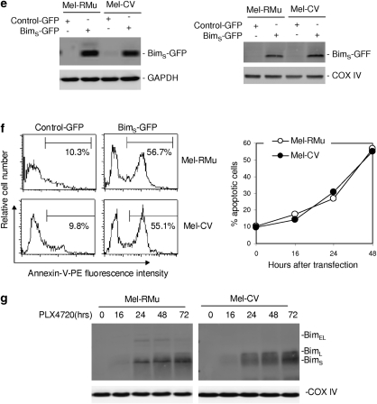 Bim S has a critical role in PLX4720-induced apoptosis of mutant B-RAF melanoma cells. ( a ) Left panel: Mel-RMu and Mel-CV cells (B-RAF V600E ) were transfected with the control or Bim siRNA. After 24 h, cells were treated with PLX4720 for 16 h. Total RNA was isolated and subjected to real-time PCR analysis for Bim mRNA expression. The relative abundance of mRNA expression in cells transfected with the control siRNA before treatment was arbitrarily designated as 1. Right panel: Mel-RMu and Mel-CV cells were transfected with the control or Bim siRNA. After 24 h, cells were treated with PLX4720 for a further 72 h. Apoptosis was quantitated by the propidium iodide (PI) method. The data shown are the mean±S.E. of three individual experiments. ( b ) Mel-RMu cells were transfected with the control, Bim EL , or Bim S siRNA. After 24 h, cells were treated with PLX4720 (10 μ M) for 16 h. Total RNA was isolated and subjected to real-time PCR analysis for Bim EL (left panel) and Bim S (right panel) mRNA expression. The levels of the expression of individual species in cells transfected with the control siRNA without treatment were arbitrarily designated as 1. The data shown are the mean±S.E. of three individual experiments. ( c ) Whole cell lysates from Mel-RMu cells treated as in b were subjected to western blot analysis of Bim and GAPDH (as a loading control). The arrowhead points to nonspecific bands. The data shown are representative of three individual western blot analyses. ( d ) Mel-RMu cells with Bim EL or Bim S knocked down as in b were treated with PLX 4720 at 10 μ M for 72 h. Apoptosis was quantitated by the PI method. The data shown are the mean±S.E. of three individual experiments. ( e ) Left panel: Mel-RMu and Mel-CV cells were transfected with pCMV6-AC-GFP or pCMV6-AC-Bim S -GFP. After 24 h, whole cell lysates were subjected to western blot analysis of Bim S -GFP using an antibody against GFP. Western blot analysis of GAPDH was then performed as a loading contr