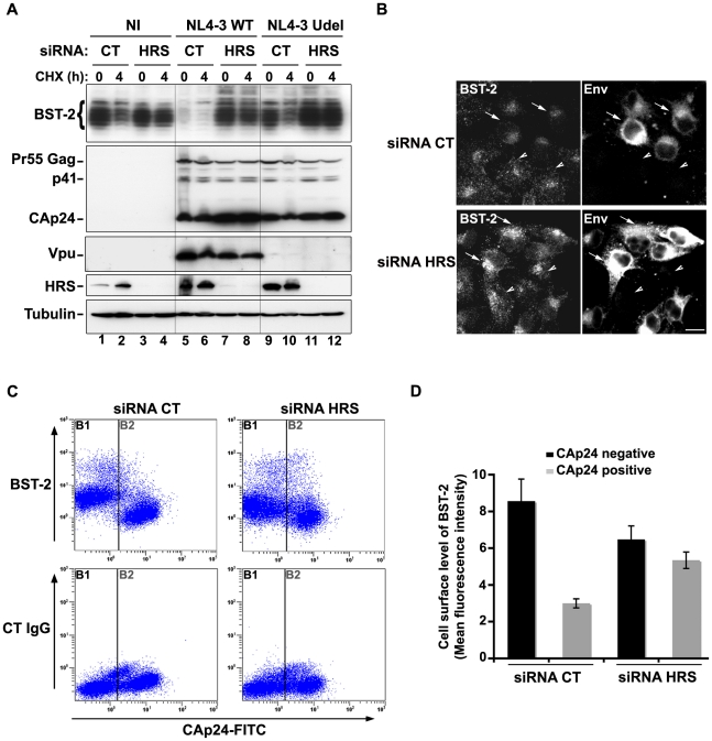 HRS is required for Vpu-induced BST-2 degradation and cell surface down-regulation. ( A–B ) HRS depletion prevents Vpu from targeting BST-2 for degradation. ( A ) HeLa cells transfected with either control siRNA (CT) or siRNA targeting HRS were infected with either VSV-G pseudotyped wt NL4-3 HIV-1 (NL4-3 WT) or VSV-G pseudotyped Vpu-defective NL4-3 (NL4-3 Udel) viruses at a MOI of 1, or left non-infected (NI). Forty-eight hours after infection, some of the cells were incubated with cycloheximide for 4 h and lysed. Cell lysates were analysed by western-blot. Tubulin is the loading control. These data are representative of 2 independent experiments. ( B ) HeLa cells transfected with either control siRNA (CT) or siRNA targeting HRS were infected with VSV-G pseudotyped NL4-3 HIV-1 (NL4-3 WT) and processed for immunolabelling with mouse polyclonal BST-2 and human HIV-1 Env (2G12) antibodies. Cells were imaged by confocal microscopy. Env staining discriminates between infected cells (arrows) and non-infected cells (arrowheads). Bar: 10 µm. ( C–D ) HRS depletion impairs Vpu-induced cell surface down regulation of BST-2. HeLa cells transfected with either control siRNA (CT) or siRNA targeting HRS were infected with VSV-G pseudotyped NL4-3 HIV-1 at a MOI of 0.5. Forty-eight hours later the cells were stained with rabbit polyclonal antibody against BST-2 (BST-2; upper panels) or rabbit polyclonal IgGs as an isotype control (CT IgG; lower panels), followed by a staining with a Cy5-conjugated donkey anti-rabbit antibody. The cells were then fixed, permeabilized and stained for Gag using a FITC-conjugated mouse monoclonal anti-CAp24. The cells were then processed for flow cytometry analysis. ( C ) Dot plot. Vertical lines indicate the gates set using non-infected cells stained as indicated. Gate B1 represents non infected cells and gate B2: infected-cells. ( D ) Bar graph representation of cell surface level of BST-2 in CAp24 negative cells (black bars) and CAp24 positive cells 