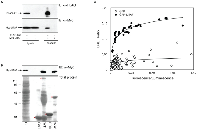 LITAF interacts with Itch in vitro and in vivo . (A) HEK-293T cells were transiently transfected with FLAG-Itch with or without co-transfection of myc-LITAF. Total cell lysates were blotted with anti-FLAG and anti-myc to show protein expression (lower panel), and immunoprecipitated with anti-FLAG to reveal LITAF co-immunoprecipitation (upper panel). (B) Extracts from 293T cells transfected with myc-LITAF were incubated with either GST alone, GST-Itch WT, GST-Itch PRD or GST-Itch WW pre-coupled to glutathione-Sepharose. Input proteins is shown in the first lane (CL). Proteins bound to GST beads are shown in the next lanes. Immunoblotting with anti- myc antibodies shows the presence of myc-LITAF (upper panel). Total gel loading is shown by ponceau staining of the blot to reveal GST loading. The bands representing the GST-fusions in the Ponceau staining are marked by a red asterisk. Additional staining in the GST-Itch-WT lane likely represents degradation products of the fusion protein. (C) 293T cells were co-transfected with constant amount of rLuc-Itch and various amounts of either GFP alone or GFP-LITAF. The graph is a representative example of the saturation studies performed to provide evidence for a specific interaction between the proteins. BRET ratios were plotted as a function of the excited GFP activity to total rLuc activity ratio, allowing comparison of BRET ratios between the negative control GFP and GFP-LITAF when expressed at the same level.