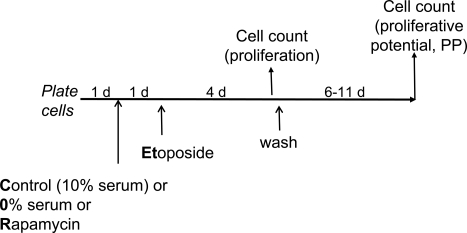 Experimental schema: transient induction of p53 in proliferating versus quiescent cells Cells are treated (or left untreated) under different condi-tions [control (10% serum), 0% serum or rapamycin] with etoposide for 4 days. Cells are counted twice: 1) at the time of etoposide removal to measure inhibition of proliferation and 2) 6-11 days after wash to measure proliferative potential (PP). PP should not be confused with proliferation. Thus, rapamycin and 0% serum inhibit proliferation but preserve (increase) proliferative potential in etoposide-treated cells.
