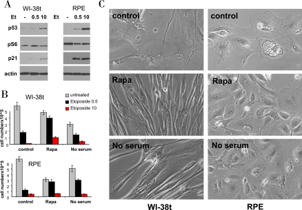 Effects of rapamycin and serum starvation on senescence caused by a higher concentration of etoposide. A. Immunoblot: WI-38t and RPE cells were treated with 0.5 μg/ml and 10 μg/ml etoposide (Et) or left untreated (-). The next day, cells were lysed and immunoblot was performed. B-C: WI-38t and RPE cells were plated at 25000/well in 12 well plates, the next day cells were either pretreated with 10 nM rapamycin (Rapa), placed in serum free medium (no serum) or left in complete medium with 10% serum (control). The next day, 0.5 μg/ml and 10 μg/ml etoposide (Et) was added: in complete medium (control) or with 10 nM Rapamycin (Rapa) or in serum free medium (no serum). After 5 days, cells were washed and cultured in fresh, drug free medium for 11 days and then trypsinized and counted. (in panel C): Before trypsinization, cells treated with 10 μg/ml etoposide (under three conditions: control, Rapa and no serum) were microphotographed.