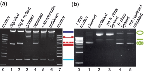 Internal modification and religation efficiencies. ( a ) Polyacrylamide gel electrophoresis of DNA samples in the course of the internal labeling procedure. (Lane 1) pNLrep after digestion with MluI and AatII yielding a 0.8-kb fragment (red line) that carries the region to be replaced as well as a 0.4-kb (light blue line) and a 5-kbp fragment (dark blue line). (Lane 2) pNLrep after simultaneous digestion with MluI, AatII and Nt.BbvCI. The nicking of the 0.8-kb fragment (represented by the fragmented red line) can be seen as a slight mobility decrease. (Lane 3) Sample from lane 2 after column purification, which leads to gap formation within the 0.8-kb fragment causing a large mobility alteration (gapped red line). (Lane 4) Sample from lane 2 after the replacement reaction with oligo biotinx2, during which the 0.8-kb fragment becomes internally biotinylated, and subsequent column purification. The inserted oligo is stably bound and therefore displays the same mobility as the nicked fragment in lane 2. (Lane 5) Sample from lane 4 with > 10-fold molar excess of streptavidin added. (Lane 6) Pulldown assay with sample from lane 4 (see 'Materials and Methods' section). (Lanes 0, 7) 100 bp step DNA ladder, starting at 400 bp with an additional 517 bp band. ( b ) (Lane 1) pNLrep. (Lane 2) pNLrep after nicking and internal biotinylation with oligo biotinx2. (Lane 3) Sample from lane 2 after ligation. (Lane 4) pNLrep after internal biotinylation with 5′-phosphorylated biotinx2 oligo and religation. (Lane 5) pNLrep after nicking with Nt.BbvCI and religation. Positions of supercoiled, nicked and linearized plasmid species are indicated by corresponding symbols at the right side. (Lane 0) 1 kb step DNA ladder with the shortest fragment starting at 1 kb.