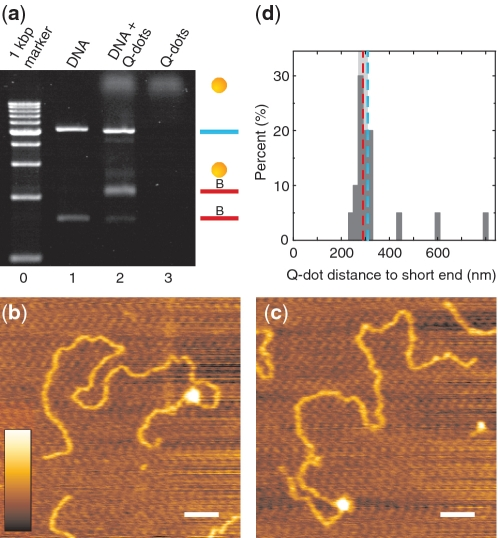 Site-specific attachment of Q-dots to internally biotinylated DNA. ( a ) Band-shift assay of Q-dot binding to DNA. (Lane 0) 1 kb step DNA ladder with the shortest fragment starting at 1 kb. (Lane 1) pNLrep after digestion with BamHI, PspOMI and Nt.BbvCI and internal biotinylation with oligomer biotinx2 ( Figure 2 a). (Lane 2) Sample from Lane 1 with 5-fold molar excess of streptavidin coated Q-dots added. (Lane 3) Sample containing Q-dots only. Symbols on the right side indicate Q-dots (yellow spheres), the short biotinylated fragment (red line) and the long non-biotinylated fragment (blue line). ( b and c ) AFM images of Q-dots bound to DNA. The colour scale corresponds to a height-range of 1 nm, and the scale bar corresponds to 100 nm. ( d ) Histogram of the Q-dot position measured from the nearest DNA end. The expected Q-dot position at 920 bp (310 nm) (blue dashed line) is within the double confidence interval (light grey band) of the experimentally determined mean (290 ± 20 nm, red dashed line).
