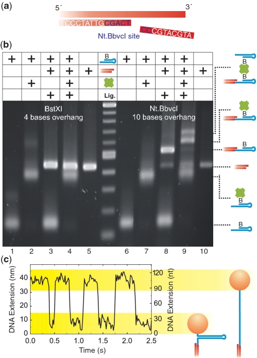 ssDNA to dsDNA ligation at nicking-enzyme-generated overhangs. ( a ) Schematic representation of overhang generation. A BbvCI recognition site (blue letters) was incorporated near the DNA end in such a way that nicking with Nt.BbvCI generates a 10-bp fragment at the 5′-end. ( b ) Agarose gel of DNA fragments, ligation products and streptavidin-induced band shifts. The biotinylated 40-bp hairpin, the 430-bp dsDNA handle and streptavidin are represented by a blue, red and green symbol, respectively. `Lig.' indicates where a ligation for 1 h at room temperature was carried out. Positions of the reaction products are marked at the right side. (Lanes 1–5) reaction products for the 4 nt overhang generated by BstXI. (Lanes 6–10) reaction products for the 10 nt overhang generated by Nt.BbvCI. The lane in the middle is a 100-bp size marker ladder with the shortest fragment starting at 100-bp and 100-bp size difference between all subsequent fragments (and an additional band at 517 bp). The success of the ssDNA to dsDNA ligation was confirmed by the streptavidin-induced band-shift, in which the desired product specifically shifted only in the case where a 10 nt 3′-overhang had been used. ( c ) Magnetic tweezers experiment with the generated hairpin construct. The molecule was held at the critical force where the closed and the opened states of the hairpin (as illustrated by the sketches) were nearly equally populated. The change in height between the two states was ≈38 nm as expected for a 40-nt hairpin.