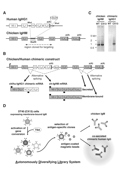 The chicken/human chimeric IgG expression construct. ( A ) Strategy for the knock-in of the human IgHG1 constant region at the chicken IgHM locus. The chicken IgHM region from the exon C H 1 to C H 3 was cloned to make the targeting vector. The intronic region digested by BseRI was replaced by the human IgHG1 region from H to C H 3 and a selectable marker. Bsd = blasticidin S deaminase. p(A) = polyadenylation sites. Genomic size and distances are not to scale (distance of chicken C H 1 to C H 2 = 4.5 kb; human H-C H 2-C H 3 insert = 1 kb). ( B ) Final genomic structure after integration of the knock-in plasmid and expected mRNA variants produced by alternative splicing. Thick horizontal bars indicate the approximate positions of the primers for PCR and RT–PCR used to confirm genomic integration and expression of IgHM and IgHG1 transcripts. ( C ) Expression of IgHM and of chimeric IgHG1 detected by RT–PCR in the wild-type parental strain (WT) and a positive chimeric transformant (CX13). ( D ) Schematic outline of the ADLib system applied to the selection of chimeric human IgG. (From left to right) The enhancement of sequence diversification at the Ig variable locus in TSA-treated DT40 cultures allows the generation of an autonomously diversifying library of cells expressing various surface IgM; the clones specific for the target antigen are isolated using antigen-coated magnetic beads; CX13 cells co-express secreted-form chicken IgM and chimeric IgG with the same antigen-binding domain; antigen-specific chimeric IgG can therefore be isolated directly from the culture supernatant for further use.