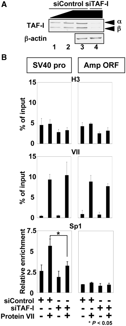 Effect of knockdown of TAF-I expression on Sp1 recruitment. ( A ) Expression level of TAF-I. Western blot analyses were performed with lysates from HeLa cells treated with control siRNA (siControl, lanes 1–3) or siRNA for TAF-I (siTAF-I, lane 4). For siControl-treated cells, 25% (lane 1) and 50% (lane 2) volume of lysate were also loaded. ( B ) Transfection of siRNA-treated cells with reconstituted protein VII–DNA complexes. siControl- or siTAF-I-treated cells were transfected with reconstituted protein VII–DNA complexes, and cell lysates were subjected to ChIP assays as described in Figure 5 D. P -values are calculated using Student's t -test.