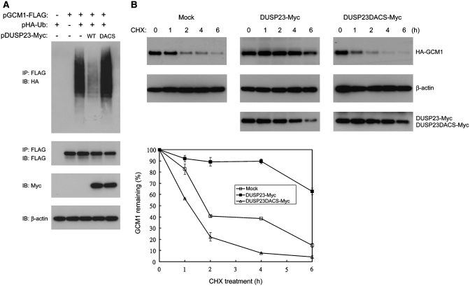 Regulation of GCM1 ubiquitination and half-life by DUSP23. ( A ) DUSP23 prevents GCM1 from ubiquitination. 293T cells were transfected with different combinations of 1 µg of pGCM1-FLAG, pHA-Ub, pDUSP23-Myc and pDUSP23DACS-Myc. At 24 h post-transfection, cells were treated with 40 µM MG132 for an additional 10 h, and then subjected to ubiquitination analysis by immunoprecipitation with FLAG mAb and immunoblotting with HA mAb. ( B ) DUSP23 prolongs the half-life of GCM1. Mock BeWo31 cells or BeWo31 cells stably expressing DUSP23-Myc or DUSP23DACS-Myc were treated with 75 µM cycloheximide (CHX) for the indicated period of time. The protein levels of HA-GCM1, DUSP23-Myc, DUSP23DACS-Myc and β-actin were then analyzed by immunoblotting with HA, Myc and β-actin mAbs. The band intensity of HA-GCM1 and β-actin was quantified by densitometric analysis. After normalization of HA-GCM1 with β-actin, the relative levels of HA-GCM1 proteins from two independent experiments were plotted against the time course of CHX treatment.