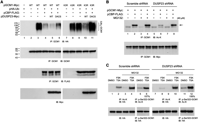 Coordination of GCM1 dephosphorylation and acetylation. ( A ) Interplay between DUSP23 and CBP in regulation of GCM1 ubiquitination. 293T cells were transfected with different combinations of 2 µg of pGCM1-Myc, 0.5 µg of pHA-Ub, 1 µg of pCBP-FLAG, 2 µg of pDUSP23-Myc and 2 µg of pDUSP23DACS-Myc. At 48 h post-transfection, cells were treated with 40 µM MG132 for an additional 6 h and then subjected to immunoprecipitation and immunoblotting with GCM1 antibody, and HA, FLAG and Myc mAbs. ( B ) DUSP23-mediated GCM1 dephosphorylation facilitates CBP-mediated GCM1 acetylation. 293T cells expressing scramble or DUSP23 shRNA were transfected with 2 µg of pGCM1-Myc and 1 µg of pCBP-FLAG. At 48 h post-transfection, cells were treated with 40 µM MG132 for an additional 10 h and then subjected to immunoprecipitation and immunoblotting with GCM1 antibody, and Ac-K and Myc mAbs. Arrow indicates the position of acetylated GCM1. ( C ) Dephosphorylation of GCM1 by DUSP23 facilitates GCM1 acetylation in placental cells. BeWo31 cells expressing scramble or DUSP23 shRNA were mock-treated or treated with 10 µM forskolin and 50 ng/ml TSA for 24 h for immunoprecipitation and immunoblotting with Ac-K and HA mAbs. In a separate experiment, cells were further treated with 20 µM MG132 for additional 10 h before harvesting for the above-described analysis. The numbers underneath lanes 6 and 12 indicate the ratios of the acetylated and Ser322-phosphorylated HA-GCM1 band intensity (normalized against Ser322-phosphorylated HA-GCM1) in FSK- and TSA-treated cells to that in mock-treated cells.