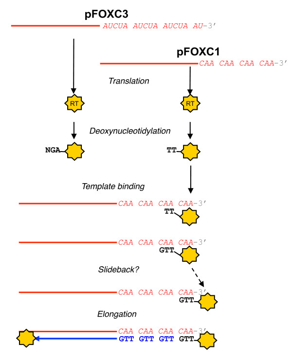 Model for protein-primed reverse transcription by the pFOXC-reverse transcriptase (RT) . Transcription of the pFOXC plasmid DNA molecules produces full-length RNAs that appear to function as both mRNAs for the synthesis of the RT and as templates for (-) strand cDNA synthesis [ 6 ]. Transcripts of pFOXC3 terminate in approximately three pentameric repeats, whereas transcripts of pFOXC1 terminate in approximately four copies of a 3 bp sequence (the 3' terminus of in vitro RNA used in this study is shown). Following production of the plasmid-encoded RT, deoxynucleotidylation occurs with the covalent addition of dAMP to a tyrosine residue of the 60 kDa pFOXC3-RT, followed by incorporation of deoxyguanosine monophosphate (dGMP) and a third nucleotide. Deoxynucleotidylation of the pFOXC1-RT results in the addition of thymidine monophosphate (TMP) to the RT, followed by one or more deoxynucleotide monophosphates (dNMPs) (a second TMP is shown). The resulting RT-(dNMP) n complex would have complementarity to the corresponding terminal repeat. Based on studies of protein-primed DNA elements, the model predicts that the complex anneals to the penultimate 3' repeat of the template (shown for pFOXC1 only). Following the synthesis of a unit-length repeat, the RT-(dNMP) n complex undergoes a slideback and is repositioned opposite the terminal repeat. The nascent cDNA is elongated via reverse transcription of the template by the 5'-linked RT or by a separate RT recruited to the complex. The model could also accommodate an increase in the number of repeats, depending on the number of slideback events that occur.