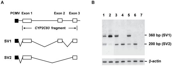 Mini gene assay for exon-2 skipping of CYP2C93. Preparation of expression plasmids and in vitro splicing analysis were performed as described in Materials and Methods . ( A ) Schematic illustration of the CYP2C93 gene fragments (exon 1 to exon 3) used to generate mini gene plasmids. ( B ) In vitro splicing analysis. Each expression plasmid was transfected into COS1 cells, from which total RNA was extracted and used for amplification of CYP2C93 cDNA (from exon 1 to exon 3) by RT-PCR. The amplified products were visualized on an agarose gel. Lanes 1 and 2, liver total RNAs of the cynomolgus monkey (mfF1) expressing both SV1 and SV2 and the rhesus monkey (mm35) expressing SV1, respectively; lanes 3 and 4, IVS2-1G and IVS2-1T of cynomolgus monkey CYP2C93, respectively; lanes 5 and 6, IVS2-1G and IVS2-1T of rhesus monkey CYP2C93, respectively; and lane 7, mock. The upper band (360 bp) and lower band (200 bp) correspond to CYP2C93 SV1 and SV2 transcripts, respectively. For cynomolgus monkey and rhesus monkey CYP2C93, only exon-2 lacking SV2 was transcribed in the presence of IVS2-1T, whereas both SV1 and SV2 were transcribed in the presence of IVS2-1G. β-actin was also analyzed as a control.