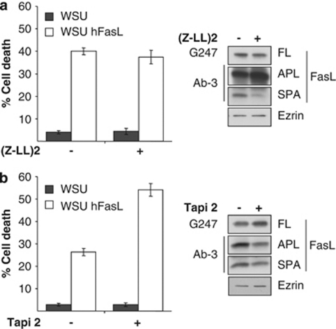 Metalloprotease, but not SPPL2a-mediated, FasL processing decreases FasL-induced cell death. WSU cells were pre-treated with inhibitors of either MMP or SPPL2a before co-culture with the Fas-bearing JH6.2 cells (inhibitors remained in media during the co-culture period). Effective inhibition of ADAM10 or SPPL2 was confirmed by western blot. G247 antibody was used to detect the full-length FasL and the antibody Ab-3 was employed for the detection of the N-terminal APL and SPA fragments, ezrin was used as loading control. Cell death was quantified by flow cytometric quantification of the subG1 population of propidium iodide-stained ethanol-fixed cells. ( a ) JH6.2 cells were co-cultured for 6 hours with WSU cells stably transfected with either hFasL or mock transfected, and were either pre-treated with the SPPL2 inhibitor (Z-LL) 2 (2 μ M, 2 h) or left untreated. The graph represents the average of two independent experiments, with error bars indicating the S.D. ( b ) JH6.2 cells were co-cultured for 4 h with WSU cells stably transfected with hFasL or mock transfected and either pre-treated with the MMP inhibitor TAPI-2 (50 μ M, 2 h) or left untreated. The graph represents the average of four independent experiments, with error bars indicating the S.D.