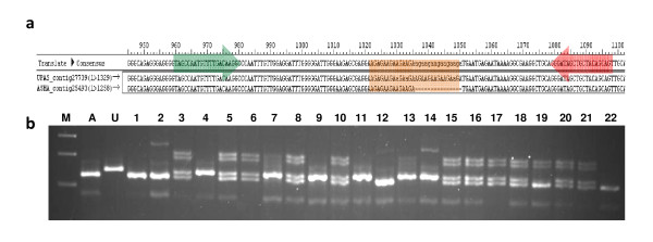 Wet laboratory validation of in silico identified <t>genic-SSR</t> length polymorphism between pigeonpea parental lines . Pigeonpea genic-SSR locus ASSR-8 showing: a. in silco polymorphism between the aligned <t>TSA</t> contigs of parental lines Asha (A) and UPAS 120 (U), b. agarose gel analysis of segregation of the ASSR-8 alleles in F 2 population. Positions of flanking primers and the polymorphic SSR sequence are highlighted.