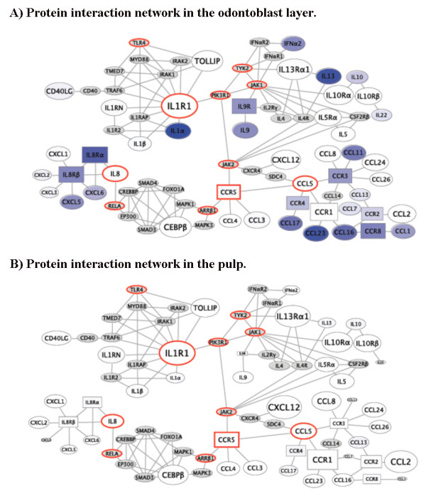 The minimal connectivity of genes increased in the odontoblast layer (ODL) and pulp of carious teeth . This network shows known direct or one off interactions between genes measured to be significantly upregulated in this study. For each gene, the expression level (inverse of <t>PCR</t> threshold cycle) in ODL (A) and pulp (B) of carious teeth is rendered as node size. Differential expression in ODL (A) and pulp (B) of carious teeth versus normal teeth (fold increase) is depicted as a color heat map with white showing no change and saturated blue meaning greater up-regulation in carious ODL (A) and pulp (B). Network bottlenecks are highlighted in red, signifying the most important candidate inflammatory signal mediators: PIK3R1, IL1R1, TLR4, ARRβ1, CCL5, CCR5, IL8, JAK1, JAK2, RELA, and TYK2. The key receptors for inflammatory signals induced by caries in ODL appear to converge through IL1R1, CCR5, and IL8Rα/β. The gene expression data used for building this map were derived from PCR arrays and <t>qPCR</t> verification data of cDNA arrays.