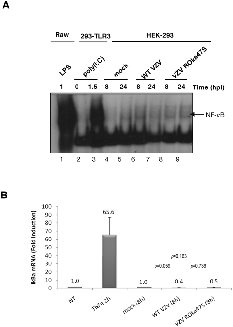 ORF47p is not responsible for the inhibition of NF-κB pathway during VZV infection. (A) Raw 264.7 macrophages were stimulated with LPS for 60 min. HEK-293 cells stably expressing TLR3 were stimulated or not with Poly (I:C) for 90 min. HEK-293 cells were mock-infected or infected with either the WT VZV or the mutant VZV ROka47S during the indicated periods of time. Various times post-infection, cells were collected and nuclear extracts were performed. 5 µg of nuclear proteins were used to study the NF-κB binding activity by EMSA using a radiolabeled probe carrying the NF-κB consensus sequence of HIV LTR promoter. (B) HEK-293 cells stably expressing TLR3 were stimulated or not with TNFα for 2 hours. Cells were mock-infected or infected with either the WT VZV or the mutant VZV ROka47S for 8 hours. Total RNA were harvested and subjected to a Reverse Transcription reaction. cDNA were subjected to a quantitative Real Time PCR in presence of SYBR Green and primers directed to iκbα . RT-PCR was normalized using the 18S RNA expression level. Error bars indicate the standard deviation of the mean.