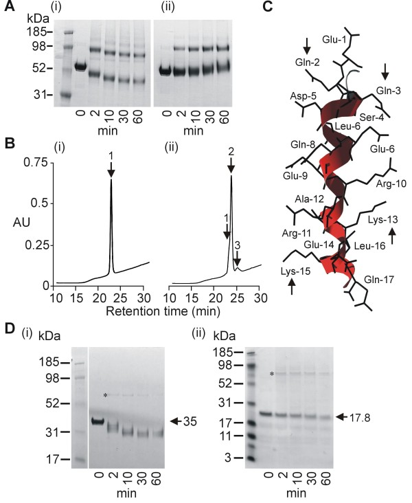 Analysis of cross-linking site . A. PAGE analysis of LSA-NRC TG2-cross-linking in the absence (i) or presence (ii) of peptide corresponding to the major repeat sequence of LSA-1. B. RP-HPLC analysis of a peptide corresponding to the major repeat sequence of LSA-1 before (i) and after (ii) gpTG2 treatment for 2 h at 100 μg/ml gpTG2. Position of monomers [retention time 23.3 min] (1), dimers [retention time 24.5 min] (2) and trimers [retention time 25.6 min] (3) are indicated. (ii). C. Tertiary structure of a single LSA-1 major repeat as predicted by Robetta modeling. Arrows indicate glutamines and lysines predicted to be involved in TG2 mediated cross-linking. D. PAGE analysis of gpTG2 cross-linking of LSA-NRC-C (i) and LSA-NRC-N (ii). * indicates band formed by the gpTG2 enzyme (MW - 76.6 kDa).