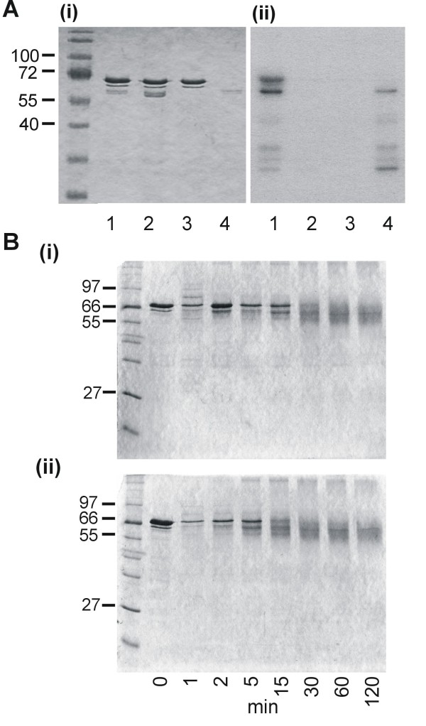 PfCK2α regulation of TG2 LSA-1 cross-linking . (A) PAGE analysis of LSA-NRC incubated with PfCK2 α. Coomassie stained samples (i). Autoradiograph of gel in (i) (ii). Lane 1 - LSA-NRC incubated with PfCK2α; lane 2 - LSA-NRC incubated with inactivated PfCK2α; lane 3 - LSA-NRC; lane 4 - PfCK2α. (B) PAGE analysis of samples taken at various time points from non-phosphorylated (i) and phosphorylated (ii) LSA-NRC incubated with gpTG2.