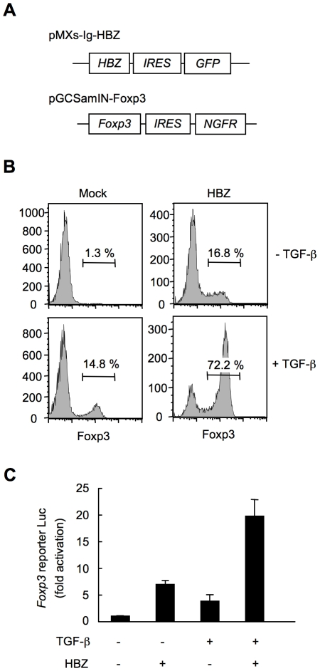 HBZ directly induces Foxp3 expression in CD4 + T cells. (A) Schematic diagrams of retrovirus vectors used in this study. (B) Mouse CD4 + CD25 − T cells transduced with retrovirus vector encoding HBZ or empty vector with or without TGF-β were stained with anti-Foxp3 antibody and analyzed by flow cytometry. (C) To study the effect of HBZ on promoter activity of the Foxp3 gene, EL4 cells were transfected with Foxp3 reporter plasmid and/or HBZ expressing plasmid. Representative data shown are firefly luciferase activities normalized to those of renilla luciferase (mean ± SD).