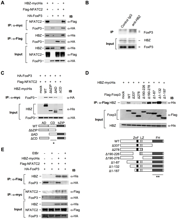 HBZ physically interacts with Foxp3 and NFAT. (A) The expression vectors of the indicated proteins were co-transfected into 293FT cells, and their interactions were analyzed by immunoprecipitation (IP). (B) Nuclear extract of ATL-43T cells was subjected to IP with anti-HBZ antibody or control IgG, and detected by anti-FoxP3 antibody. (C and D) The interactions of HBZ and Foxp3 were analyzed by IP using HBZ mutants (C) or Foxp3 mutants (D). A schematic diagram of Foxp3 mutants is shown. ZnF, zinc finger; LZ, leucine zipper; FH, forkhead domain. Asterisks (* or **) show responsible region for each molecular interaction. (E) The interactions among HBZ, Foxp3 and NFATc2 were analyzed with or without EtBr.