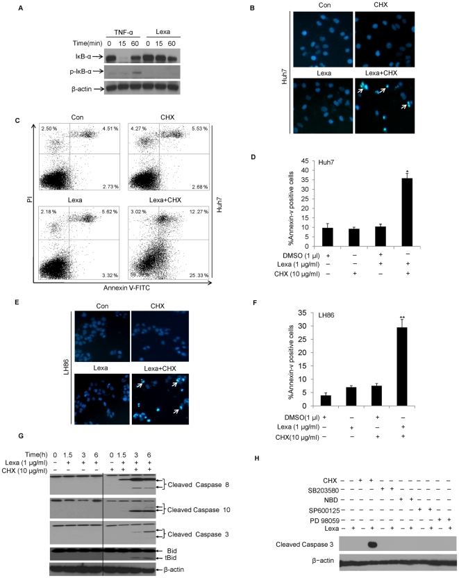 Lexa and CHX combination treatment induces apoptosis in HCC cells. A, Huh7 cells were treated with TNF-α (10 ng/ml) or Lexa (1 µg/ml) for indicated times. Cell lysates were prepared and subjected to Western blotting to detect the expression of IκB-α and phospho-IκB-α. β-actin protein levels were used as an equal protein loading control (Lexa, lexatumumab). B , Huh7 cells were treated with DMSO (Con), CHX (10 µg/ml), Lexa (1 µg/ml), or a combination of Lexa (1 µg/ml) and CHX (10 µg/ml). Apoptosis was measured by nuclear dye Hoechst 33258 staining to label DNA fragmentation (nuclear morphology changes). (Apoptotic cells were marked with arrows). C , Huh7 cells were treated with DMSO (Con), CHX (10 µg/ml), Lexa (1 µg/ml), or combination treatment of Lexa (1 µg/ml) and CHX (10 µg/ml) and apoptosis was evaluated through Annexin V and PI double staining based FACS analysis using the Annexin-V assay kit (see ' materials and methods '). D , The percentage of apoptotic cells were characterized as those that stained with Annexin-V. Data represent the mean values of three independent experiments (*p