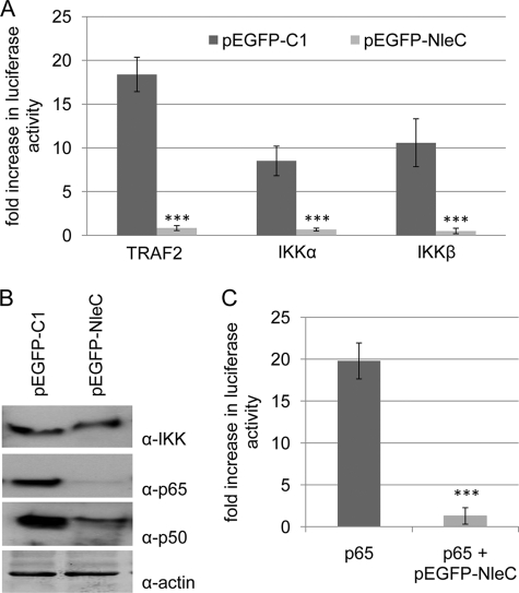 NleC inhibits NFκB function by targeting is constituents. Fold increase in NFκB-dependent luciferase activity of Hela cells co-transfected with vectors encoding pEGFP or pEGFP-NleC and NFκB pathway components TRAF2, IKKα, or IKKβ ( A ) and p65 ( C ). Transfection with pEGFP-NleC inhibits luciferase activity associated with plasmid expression of all interrogated IKK pathway components. Data shown are mean (±S.D.) of three experiments done in triplicate with level of significance (Student's t test) indicated. ***, p ≤ 0.005 as compared with empty vector control. B , representative immunoblot probing for actin, IKK (α and β), p65, and p50 demonstrates similar levels of IKK and loading control, actin, with decreased cellular levels of p65 and p50 in pEGFP-NleC-transfected cells.