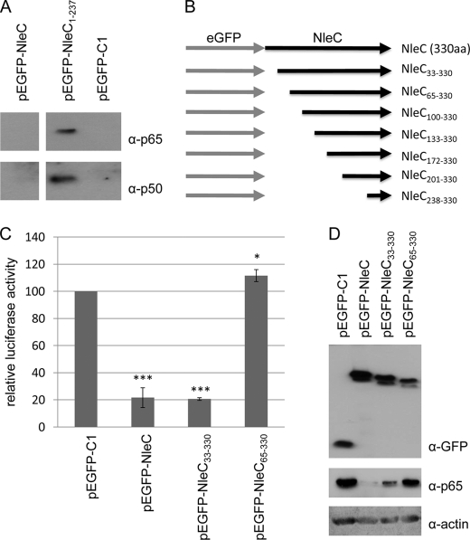Interaction of p65 and p50 with eGFP-NleC 1–237 and critical role for NleC residues 33–64. A , representative immunoblot of anti-GFP immunoprecipitate isolated from cells transfected with pEGFP, pEGFP-NleC, or pEGFP-NleC 1–237 probed for p65 and p50. The data reveals that p65 and p50 can be isolated with eGFP-NleC 1–237 but not eGFP or eGFP-NleC, the latter presumably due to rapid p65/p50 degradation. B , schematic of NleC N-terminal truncation variants constructed and screened in NFκB luciferase reporter assay. C , relative luciferase activity of cells expressing NleC and indicated variants, compared with control pEGFP-transfected cells. Data shown are mean (±S.D.) of three experiments done in triplicate with level of significance (Student's t test) indicated. *, p ≤ 0.05; ***, p ≤ 0.005 as compared with empty vector control. NleC 33–330 but not NleC 65–330 inhibits NFκB luciferase reporter activity revealing a critical role for residues between 33 and 64. D , representative immunoblot probed for GFP, p65, and actin that links loss of NFκB luciferase reporter activity of the NleC 65–330 variants with a major defect in depleting p65 from the cell.