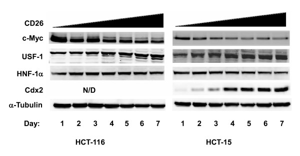 Confluence-dependent upregulation of transcription factors in HCT-116 and HCT-15 cells . Culture conditions were the same as for Figure 1. Protein expression was analyzed by Western blotting as described in Materials and Methods. Data shown are representative of three independent experiments. All transcription factors exhibited altered protein expression levels in a confluence-dependent manner except for HNF-1α, which was unchanged. * N/D , <t>Cdx2</t> was not detected in HCT-116.