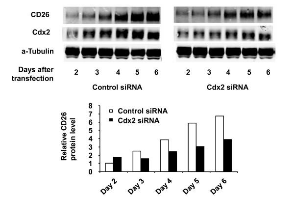 Effect of Cdx2 siRNA on confluence-dependent CD26 expression in HCT-15 cells . The effect of Cdx2 siRNA on the confluence-dependent CD26 protein expression in HCT-15 was evaluated following transient transfection (when cells were at 90% confluence) of control siRNA ( left ) or Cdx2 siRNA ( right ) as described in Materials and Methods. CD26 and Cdx2 protein expression were analyzed by Western blotting and quantified by densitometric analysis. Data shown are representative of three independent experiments.
